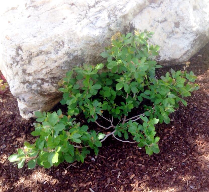 Lo-grow Sumac trees.