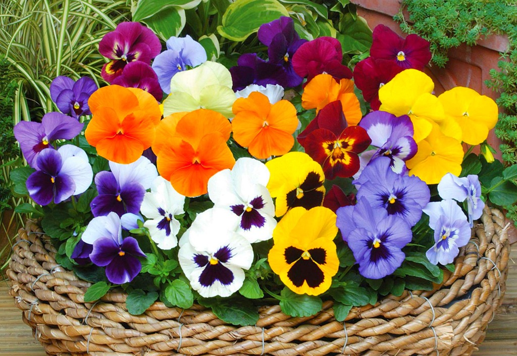 Pansies www.mytributejournal.com