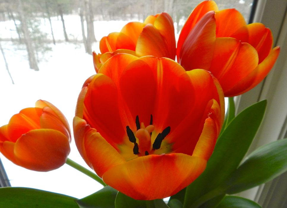Tulips in winter.