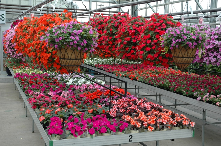 Colorful Shade plants--impatiens.