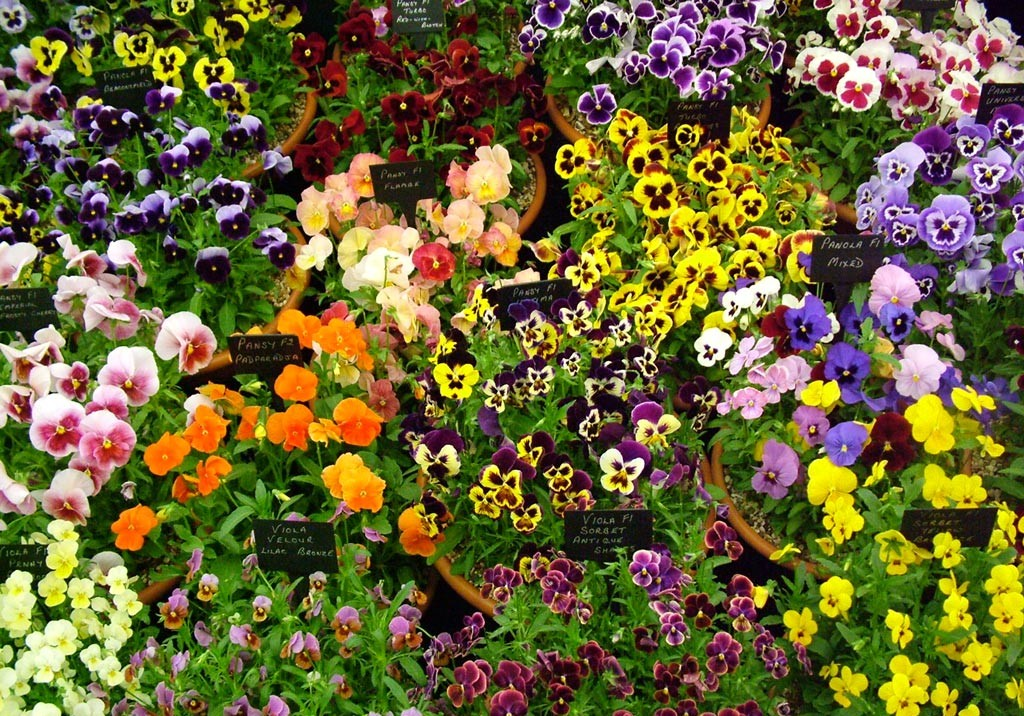 Colorful shade flowers-pansies and violas.