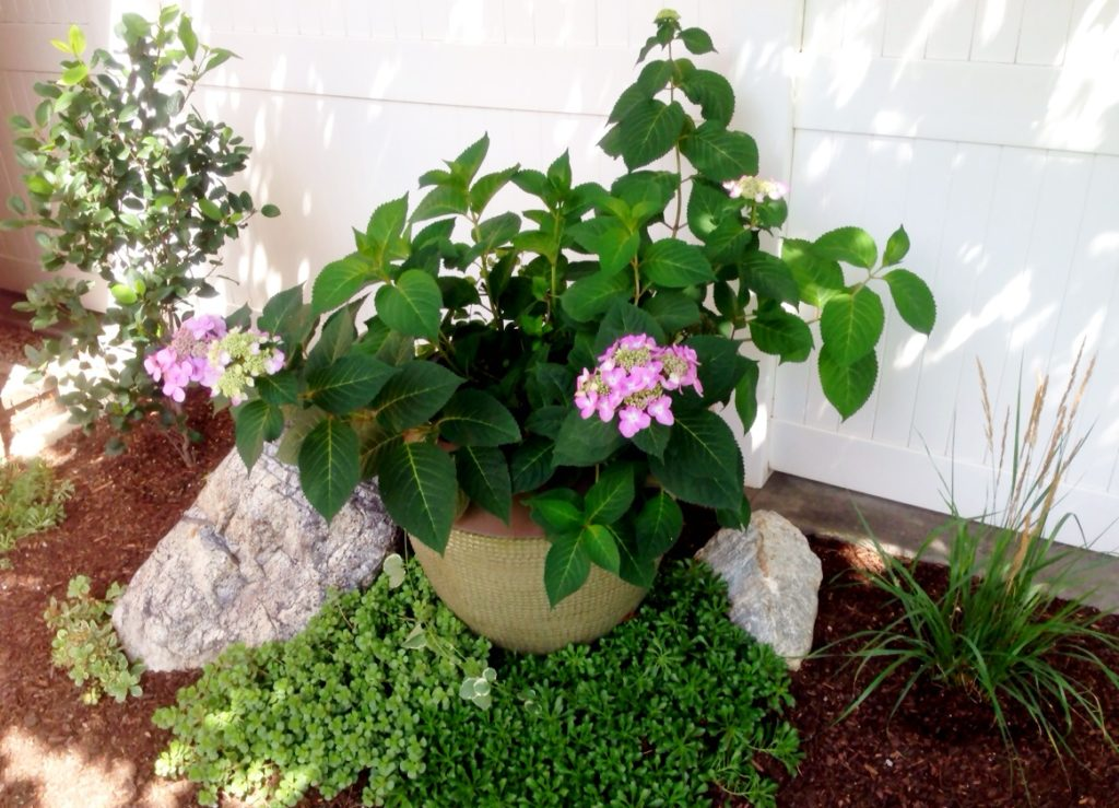Easy to grow Endless Summer hydrangeas.