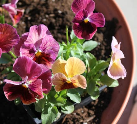 pansies-in-flower-pots-11