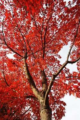 Autumn Blaze Maple.