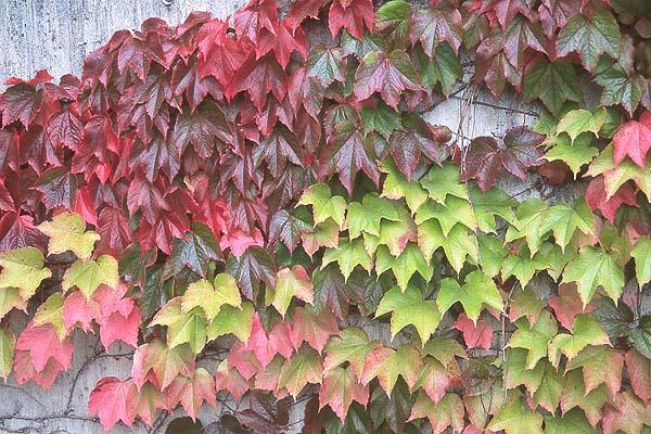 Boston Ivy.