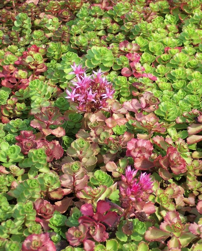 Sedum ground cover.